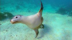 Female Australian sea lion filmed with Sony HDCAM high de... by Pawel Achtel