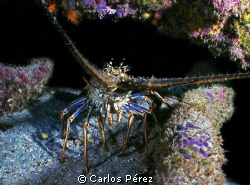 Caribbean Lobster in the Shadow; Crash Boat Beach sealife... by Carlos Pérez