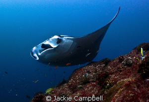 Peek a boo..... Manta playing with divers at a cleaning ... by Jackie Campbell