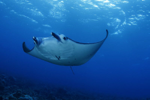 Wonderful moments with a beautiful manta.... by Charly Kotnik