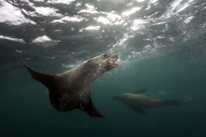 Cape Fur Seals 41km of Cape Point, having a jol by Allen Walker