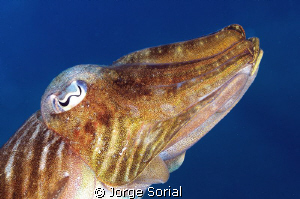 Cuttlefish against the blue sea by Jorge Sorial