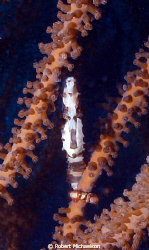 Longnose seahorse I couldn't get in position for a profil... by Robert Michaelson