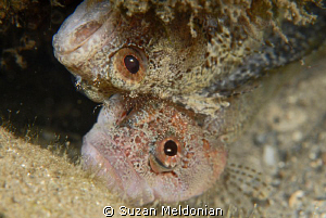These two Downey Blennies were foolin around like two kit... by Suzan Meldonian