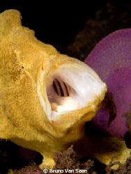 Giant frogfish - Nikon D200 - 60mm macro by Bruno Van Saen
