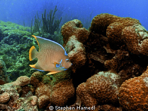 Blue Angelfish by Stephen Hamedl