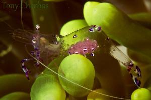 Through a Glass Shrimp by Tony Cherbas