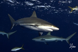 These Reef Sharks can always be seen in packs and ranking... by Steven Anderson