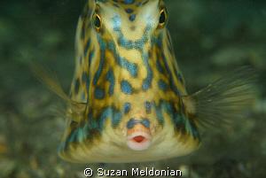 Scrawled Cowfish by Suzan Meldonian