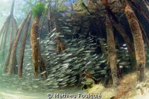 Mangrove (Los Roques National Parc) by Mathieu Foulquié