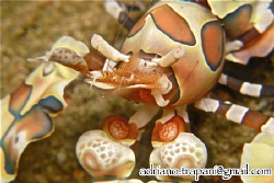 NO CROP! Harlequin Shrimp close up.