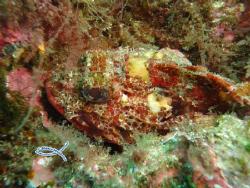 Red Scorpionfish - Perfect Camuflage... by Mário Monteiro