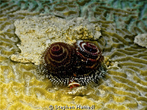 xmas tree worms and clear goby by Stephen Hamedl