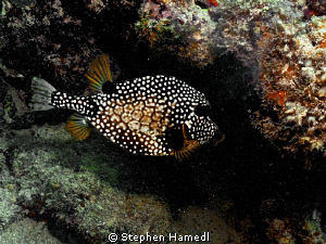 Spotted boxfish by Stephen Hamedl