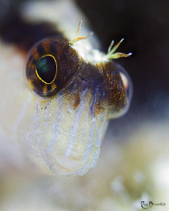 """One more for the Blennys !"" . 3 cm small Blenny; 60mm ma... by Rico Besserdich"