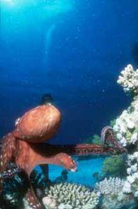 Octopus Safaga 12mm Sea&Sea +Nikonos III by Hossam M. Nasef