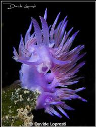 Flabellina lilla by Davide Lopresti