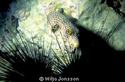 Bristly puffer fish