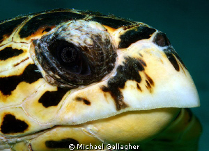 Hawksbill stare - this guy came right up to my lens port ... by Michael Gallagher