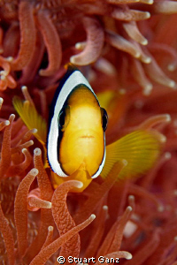 Clown in a red anemone by Stuart Ganz