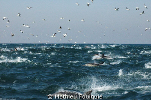 South African Sardine-run, from above by Mathieu Foulquié