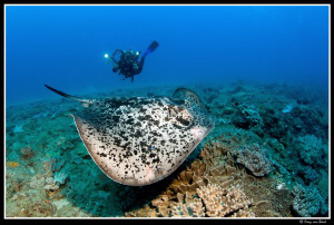 Marbled fantail ray... by Dray Van Beeck