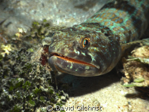 Lizardfish, Roatan( I had to wait patiently for the clean... by David Gilchrist