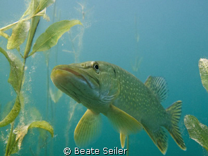 Northern pike , taken with Canon G10 by Beate Seiler