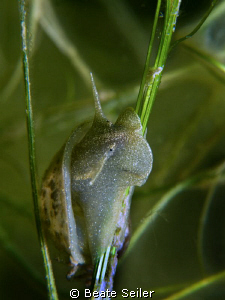 Freshwater snail , Taken with Canon G10 und UCL165 by Beate Seiler