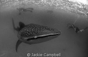 Whaleshark in Hanifaru  by Jackie Campbell