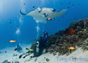 Bubble Love: This manta seemed to have a particular likin... by Tony Cherbas