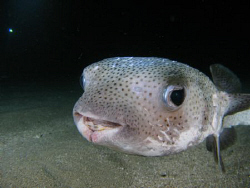 Porccupine fish at a night dive. by Juan Torres