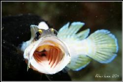 WOW!Jawfish.Nikon F100,60mm,f32,1/250,YS-120,RDP3. by Allen Lee