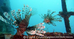 found these 2 common lionfish on the wreck of the salaman... by David Crutchley