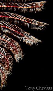 Crinoid by Tony Cherbas