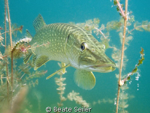 Northern pike ,taken with Canon G10 by Beate Seiler