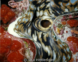 Image of Derasa clam with encrustations taken with Sea & ... by Lisa Hinderlider