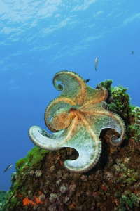 This octopus shows me how to dance flamenco. A really goo... by Roland Bach