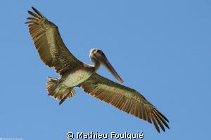 pelican (Los Roques, Venezuela) by Mathieu Foulquié