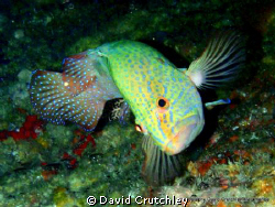 found this peacock grouper swimming on the underside of a... by David Crutchley