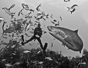 During a dive at Hammertime, the sweet Tiger Shark know t... by Steven Anderson