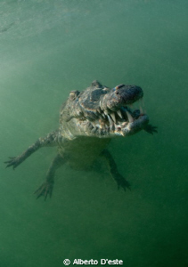 Alligator in mangrove swamp - Jardines de la rejna - Cuba... by Alberto D'este