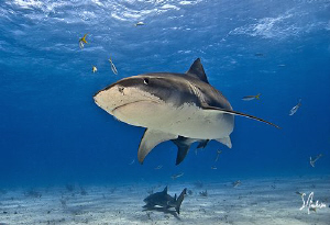 A beautiful day always at Tiger Beach as the Tiger Sharks... by Steven Anderson