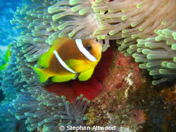 Clown fish heaven: Shot on Abu Galaw, Fury Shoals, Egypt by Stephan Attwood
