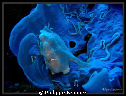 Frog fish in a strange natural light.  Just a little fla... by Philippe Brunner