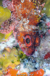 Red scorpion fish posing in a colorful background. by Jorge Sorial