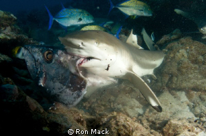 One of about a dozen black tip reef sharks in the area. by Ron Mack