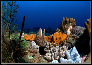 White mouth moray in coral garden... by Dray Van Beeck