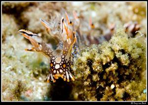Bornella anguilla... by Dray Van Beeck