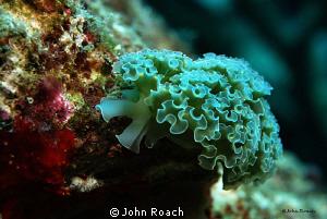 Lettuce Sea Slug. Like cheap talk in Bonaire. by John Roach
